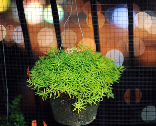 Những loại cây cảnh đẹp dễ trồng trong nhà